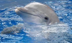 Bottlenose dolphins HD