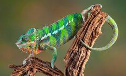 Chameleon HD