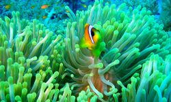 Clownfish HD