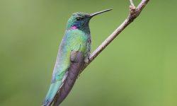 Colibri HD