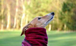 Greyhound High