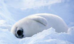 Harp seal HD