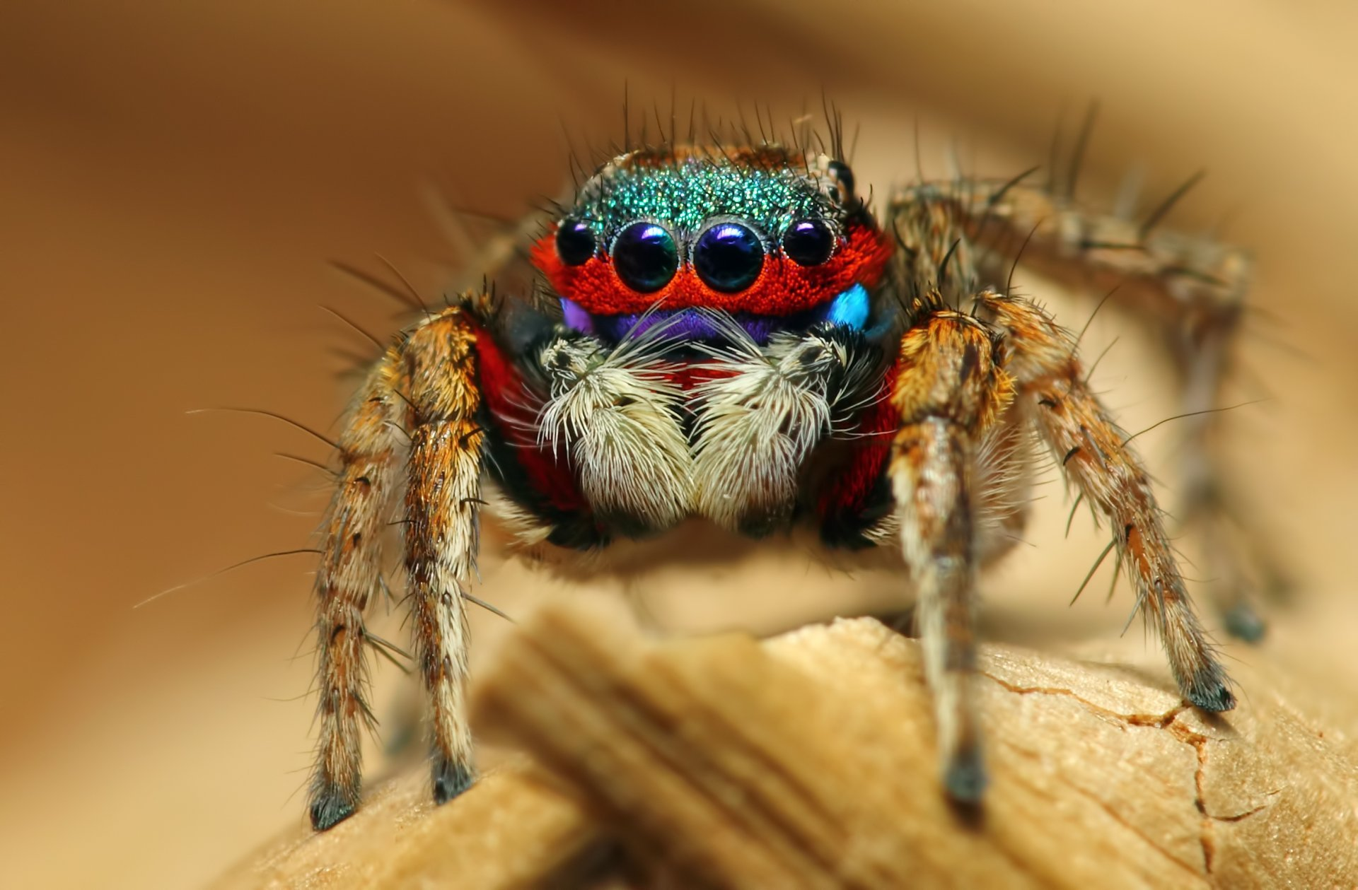Jumping spider HD