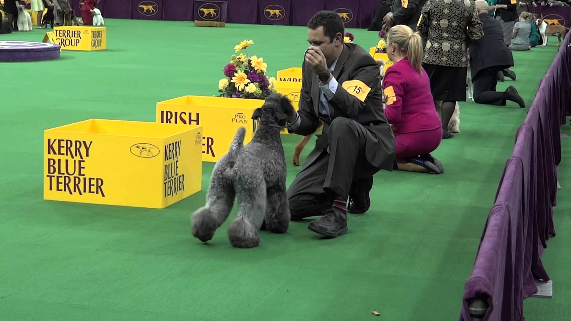 Kerry Blue Terrier HD