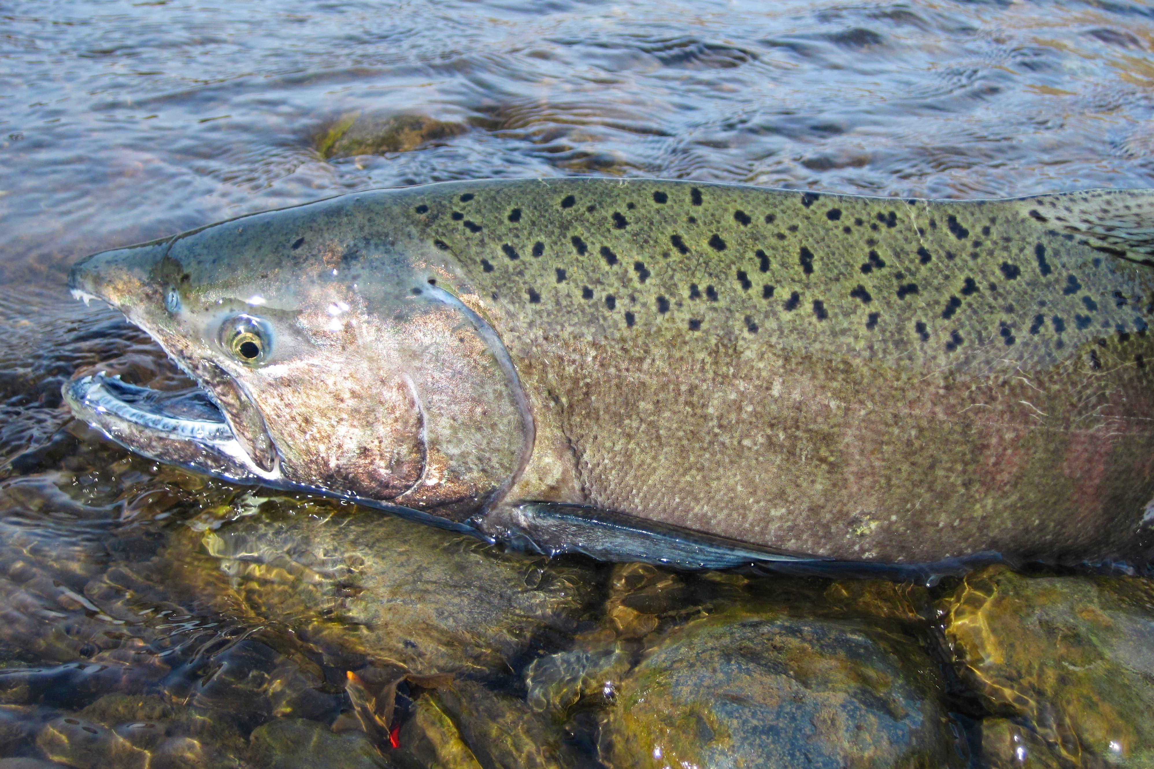 King salmon HD