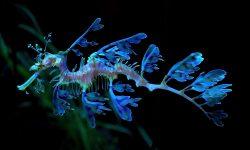 Leafy Seadragon HD