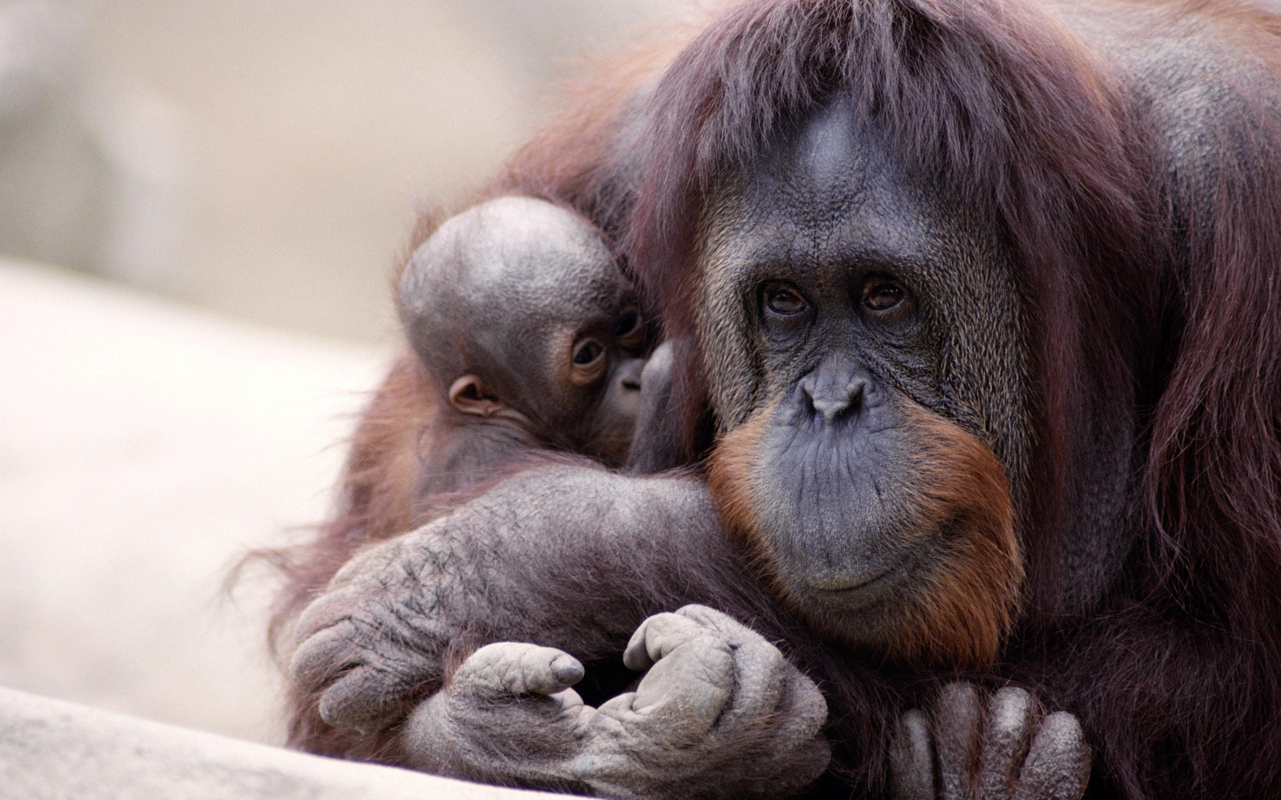 Orangutan High