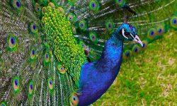 Peacock HD