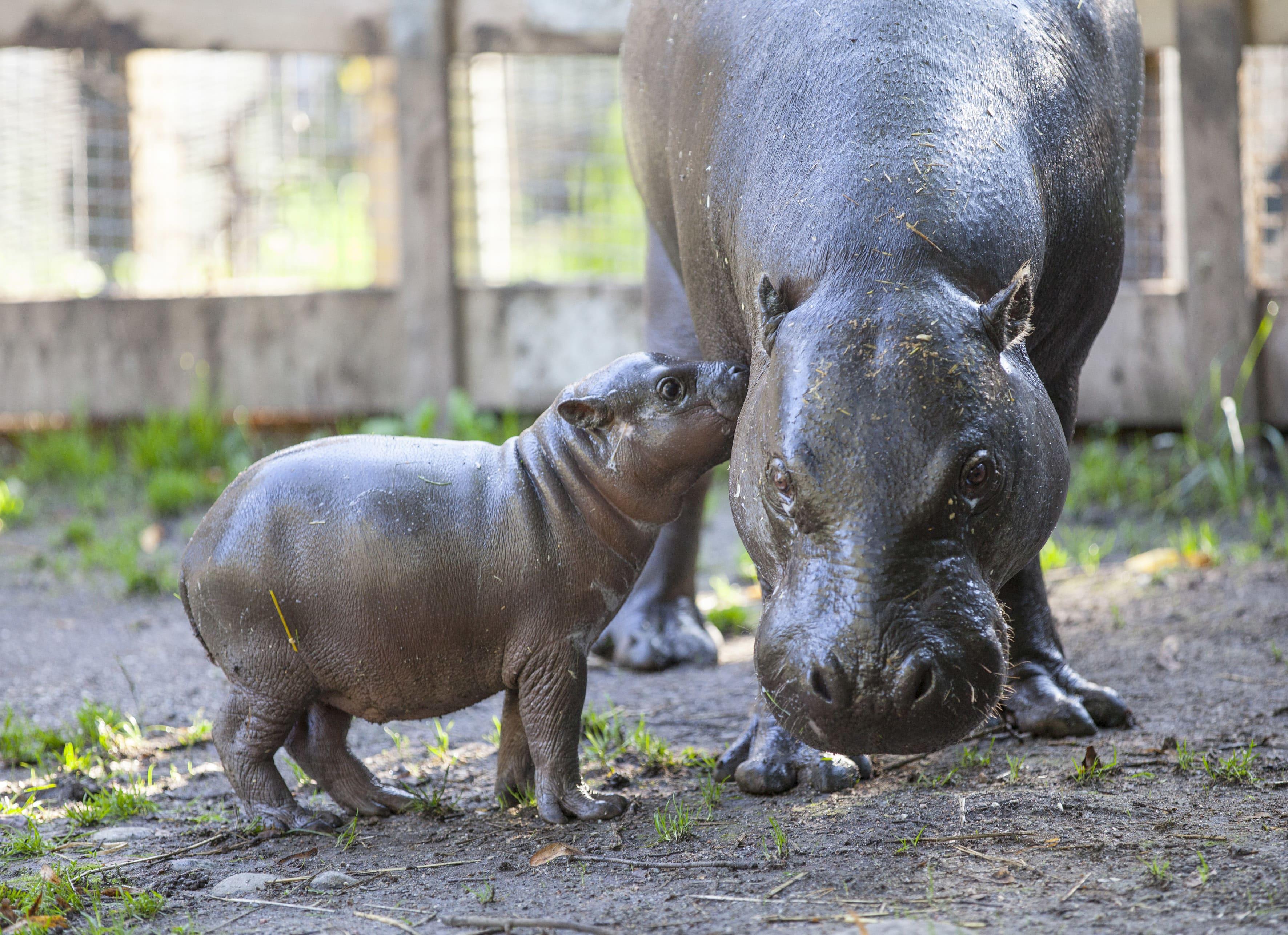 Pygmy hippopotamus HD