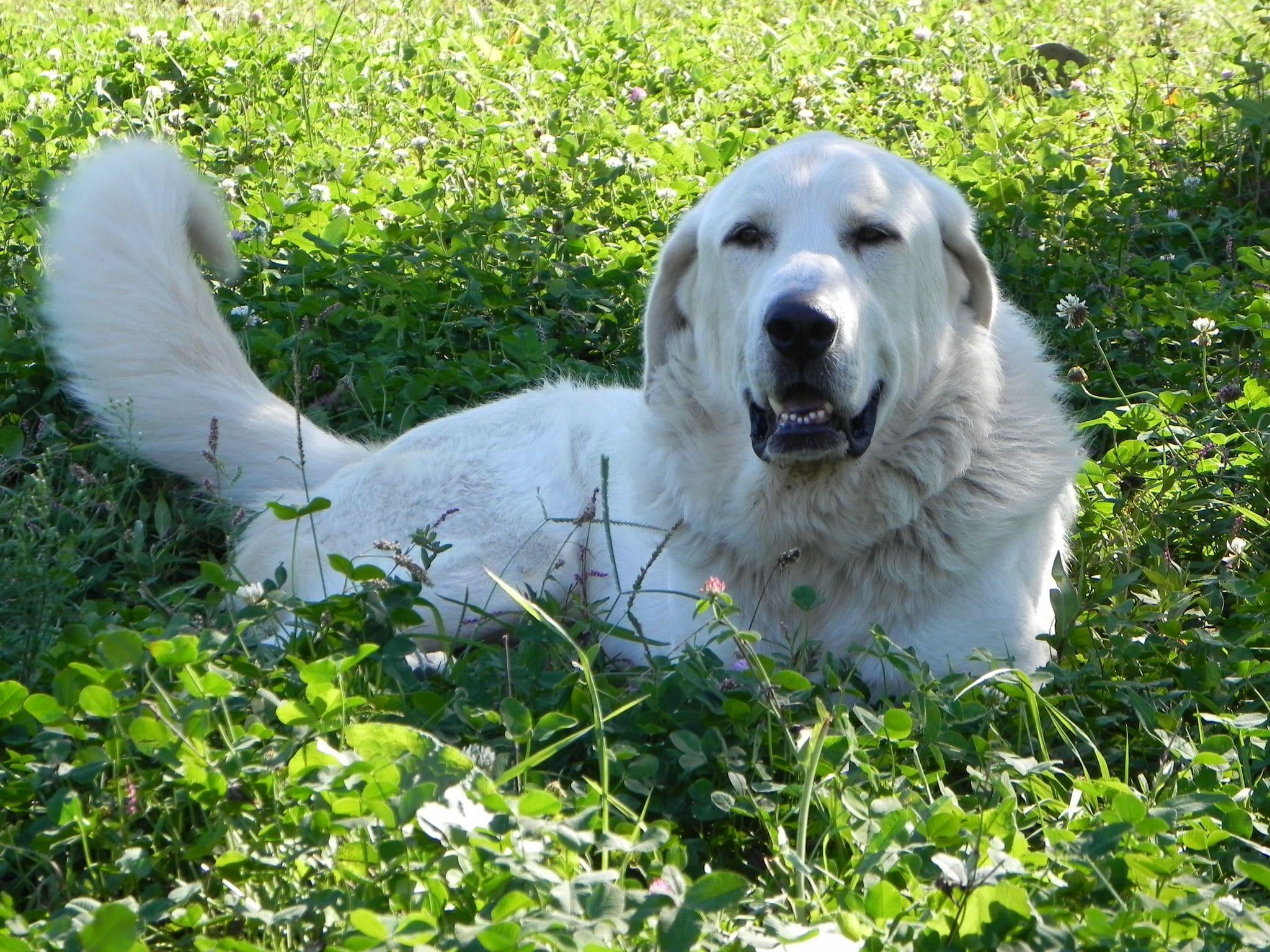Pyrenean Mountain Dog Download