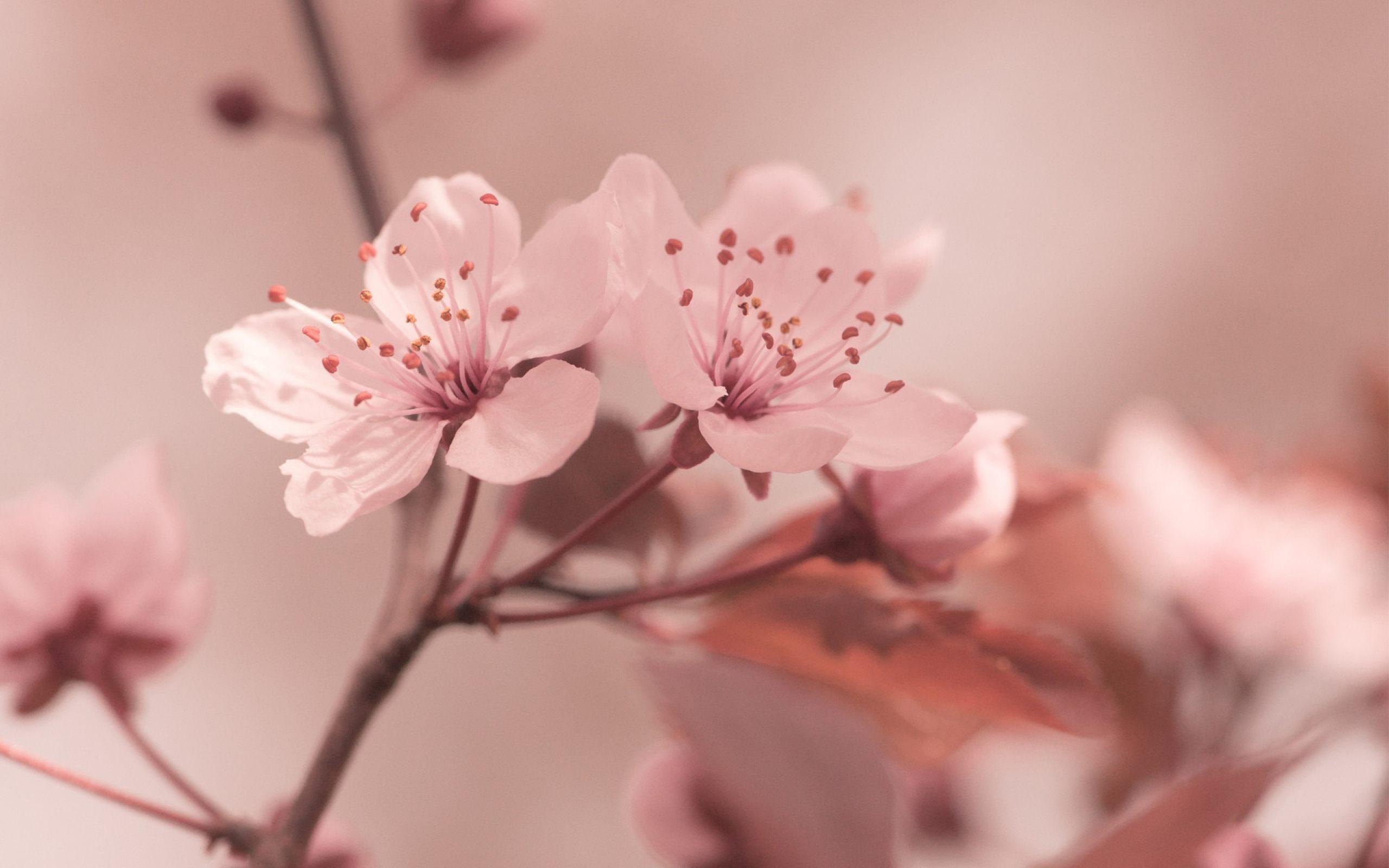 Sakura Flower Hd Wallpapers 7wallpapers Net