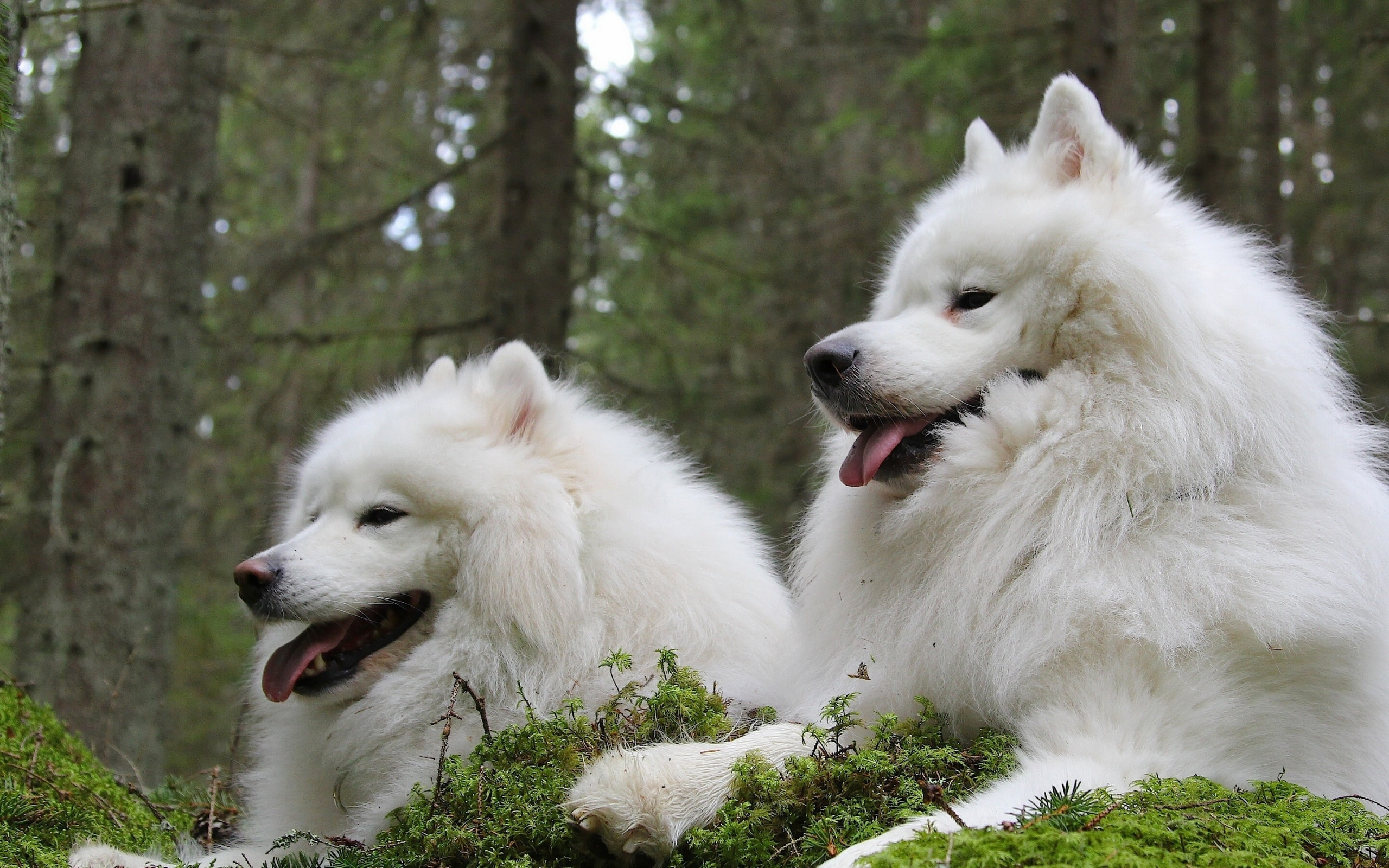 Samoyed Husky HD