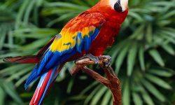 Scarlet macaw HD