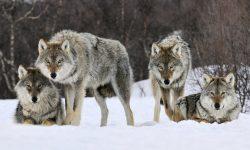 Wolf High