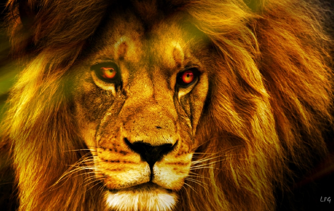 lion hd wallpapers | 7wallpapers