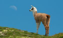 Alpaca Free