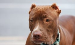American Pit Bull Terrier Free