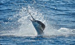 Atlantic sailfish Free