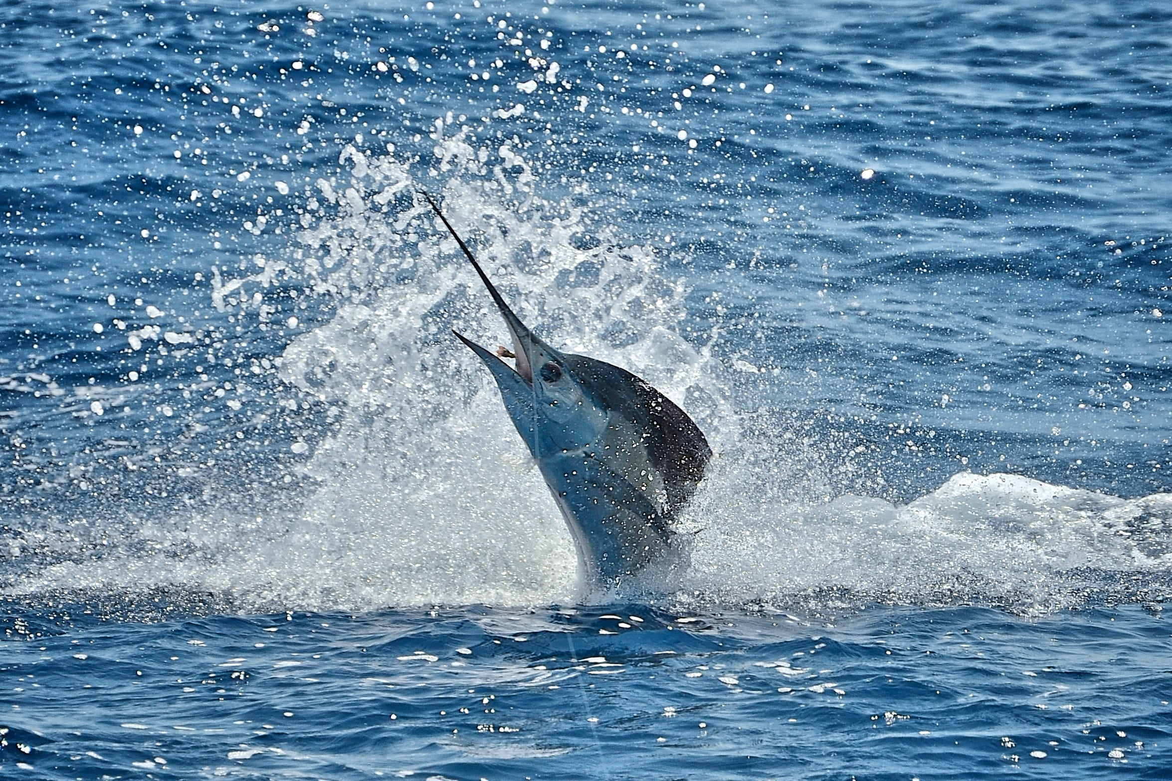 Atlantic sailfish Free