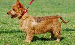 Australian Silky Terrier Free