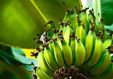Banana Free