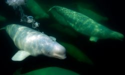 Beluga Whale Free