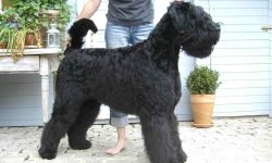 Black Russian Terrier Widescreen