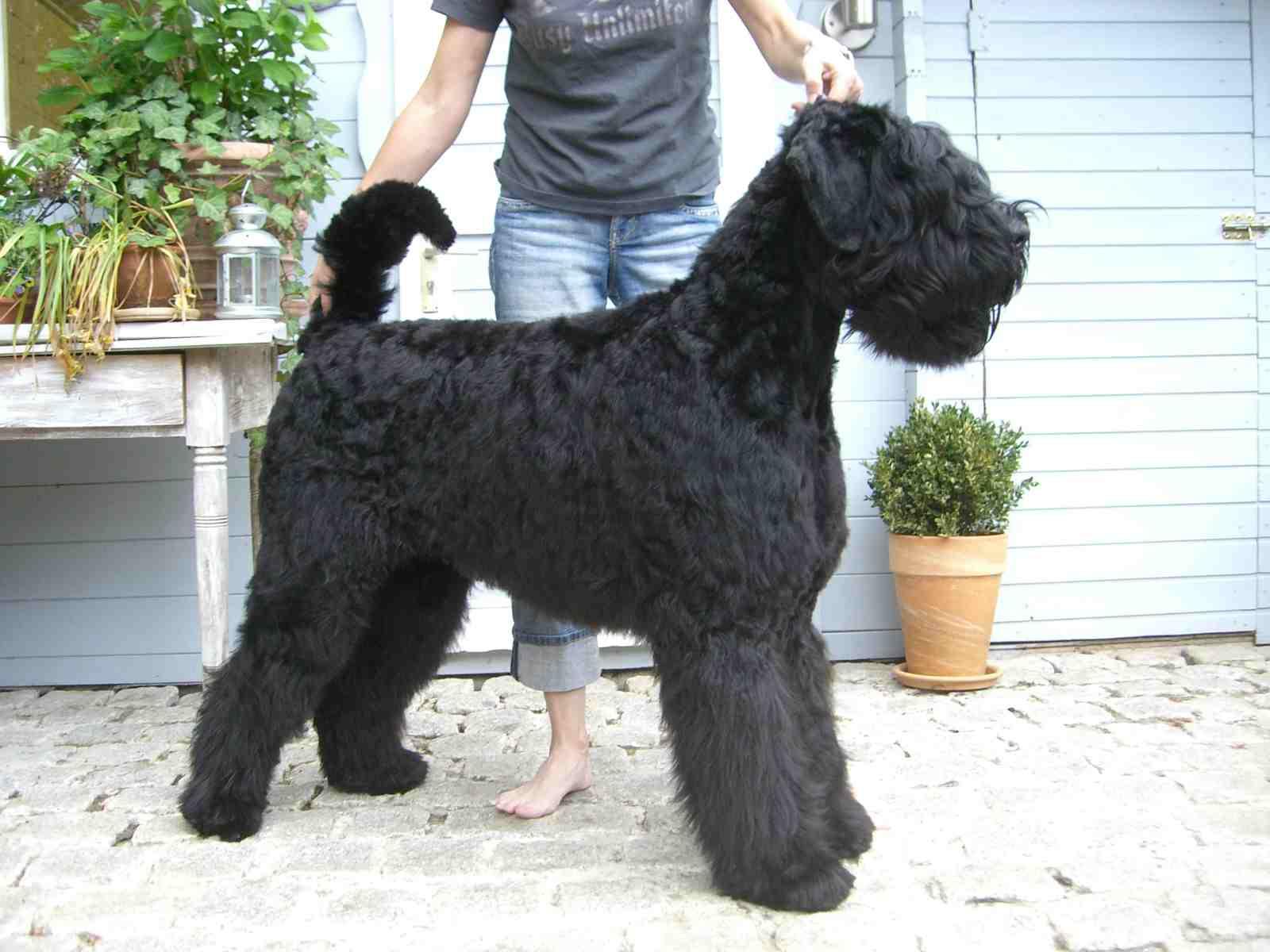 Black Russian Terrier Widescreen