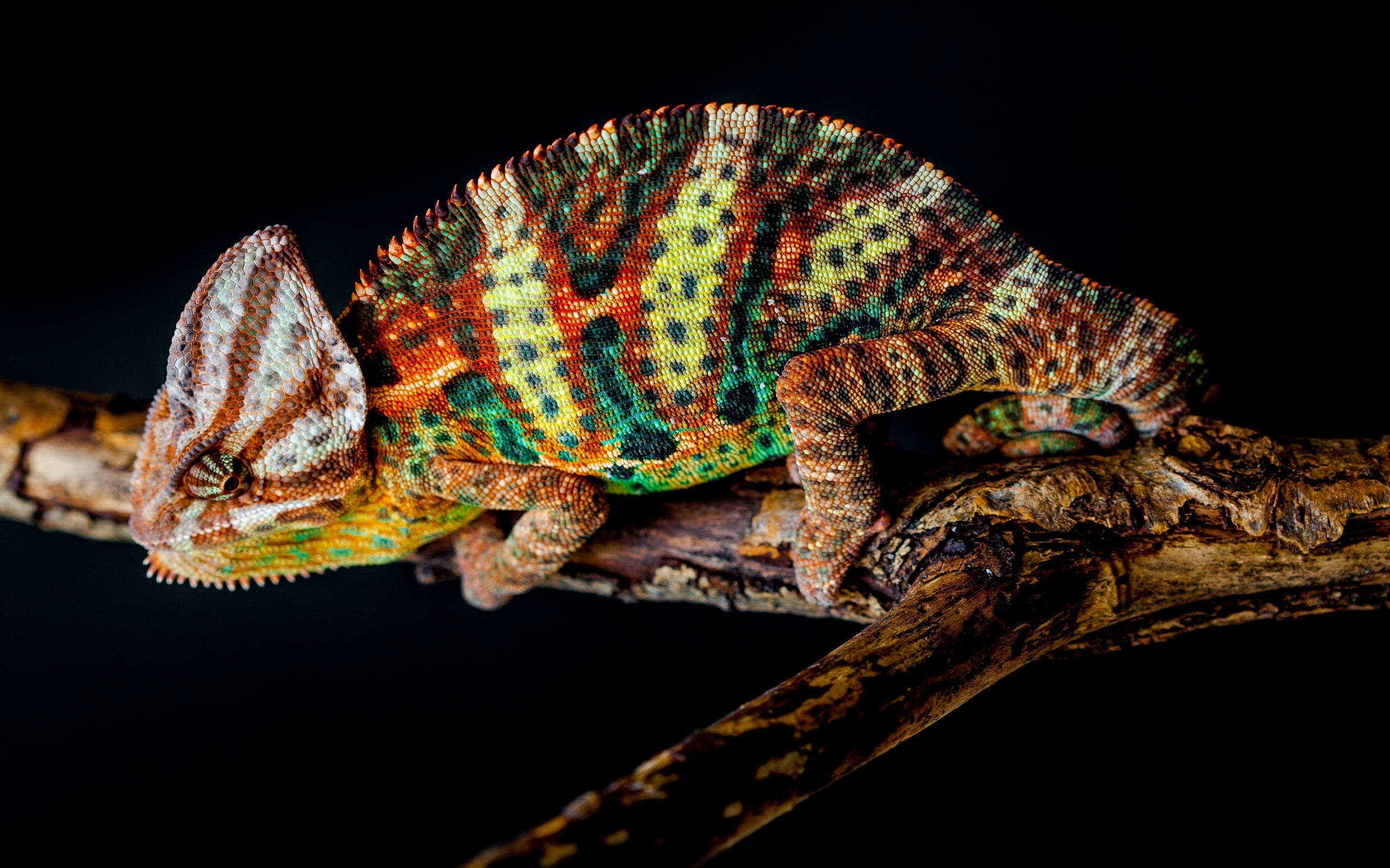 Chameleon Free
