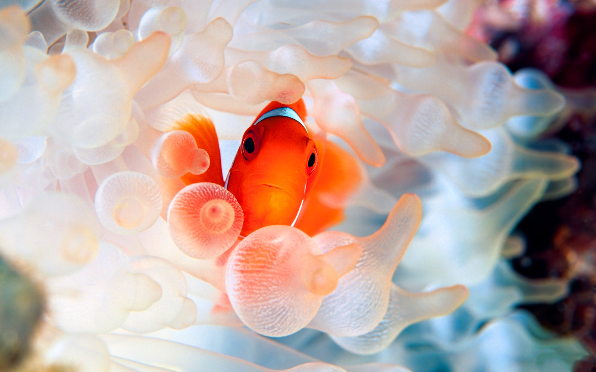 Clownfish Free