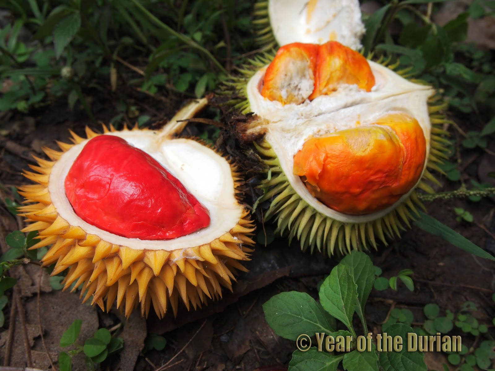 Durian Free