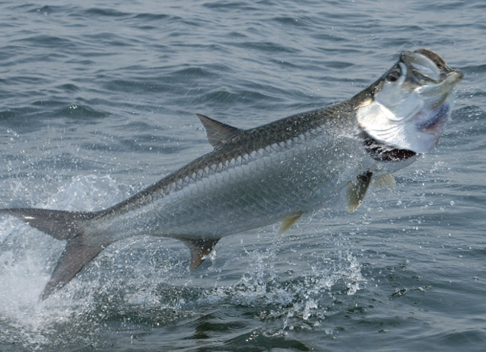 Fighting tarpon Free