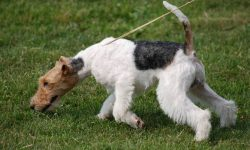 Fox Terrier Widescreen