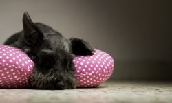 Giant Schnauzer Widescreen