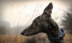 Greyhound HD