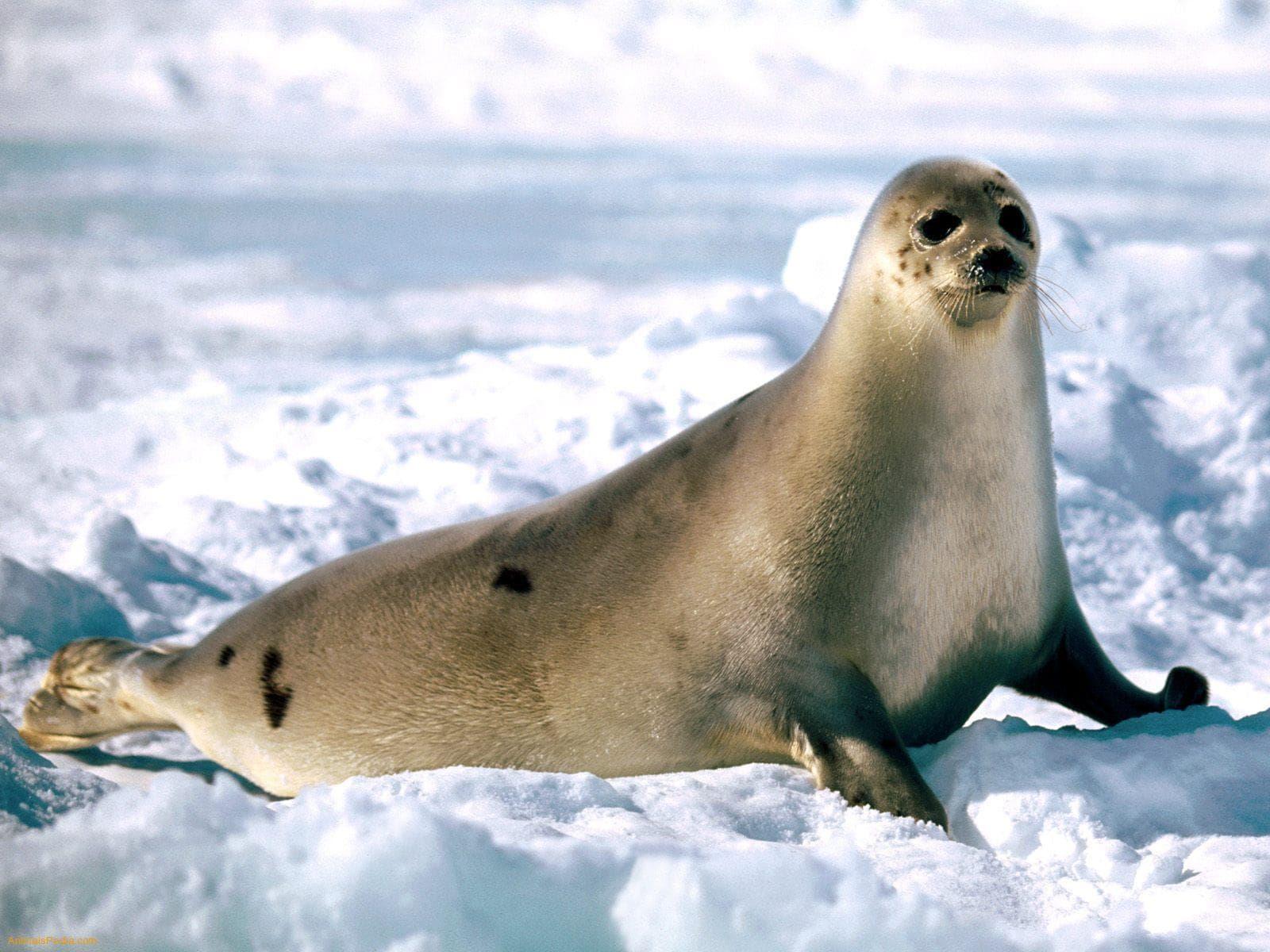 Harp seal Free