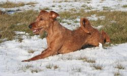 Irish Terrier Widescreen