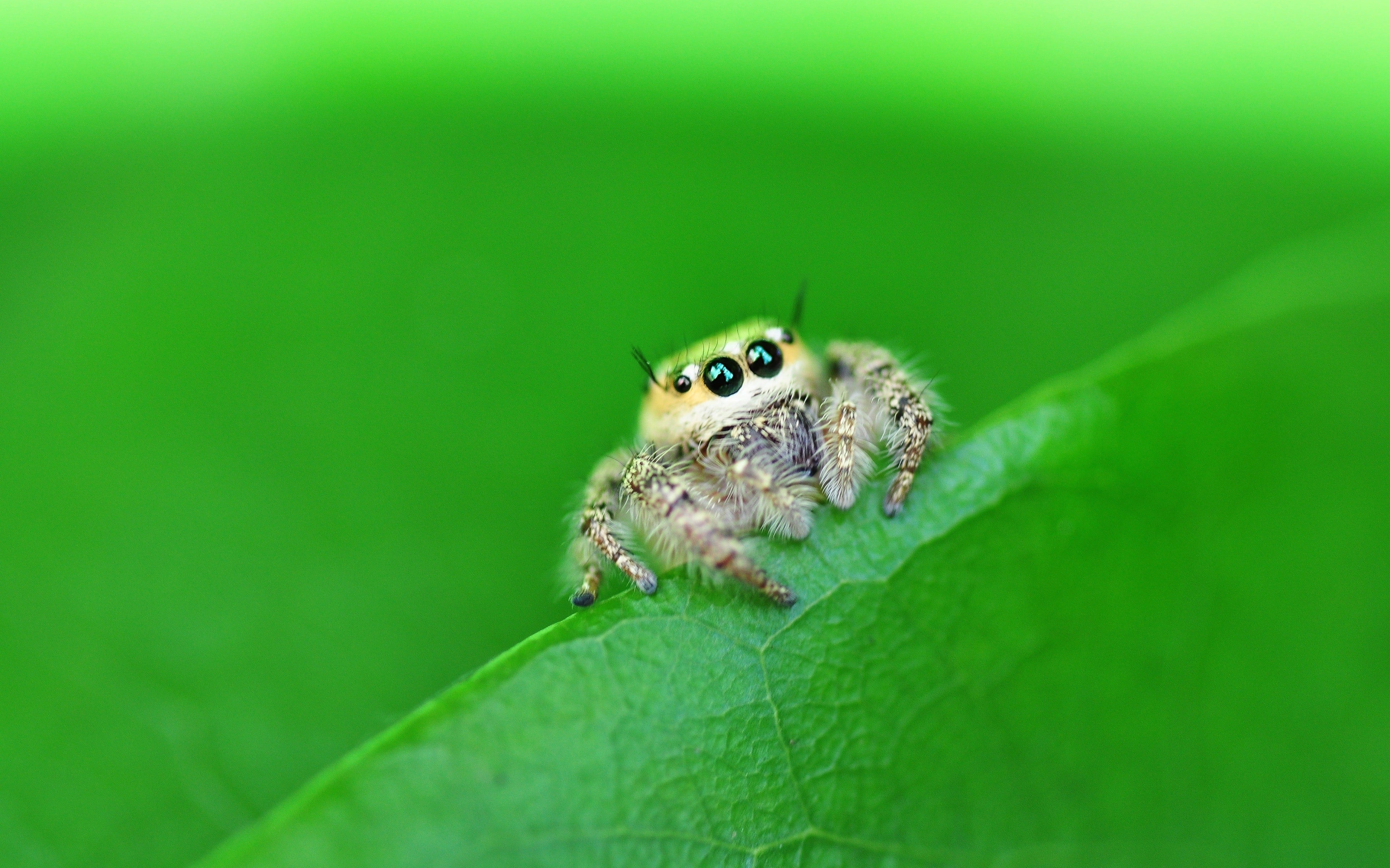 Jumping spider Free
