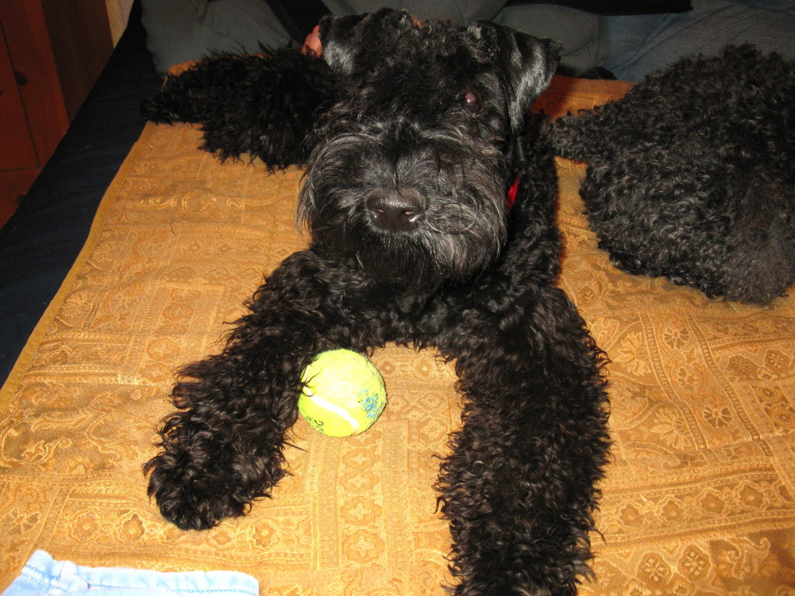 Kerry Blue Terrier Free