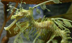 Leafy Seadragon Free