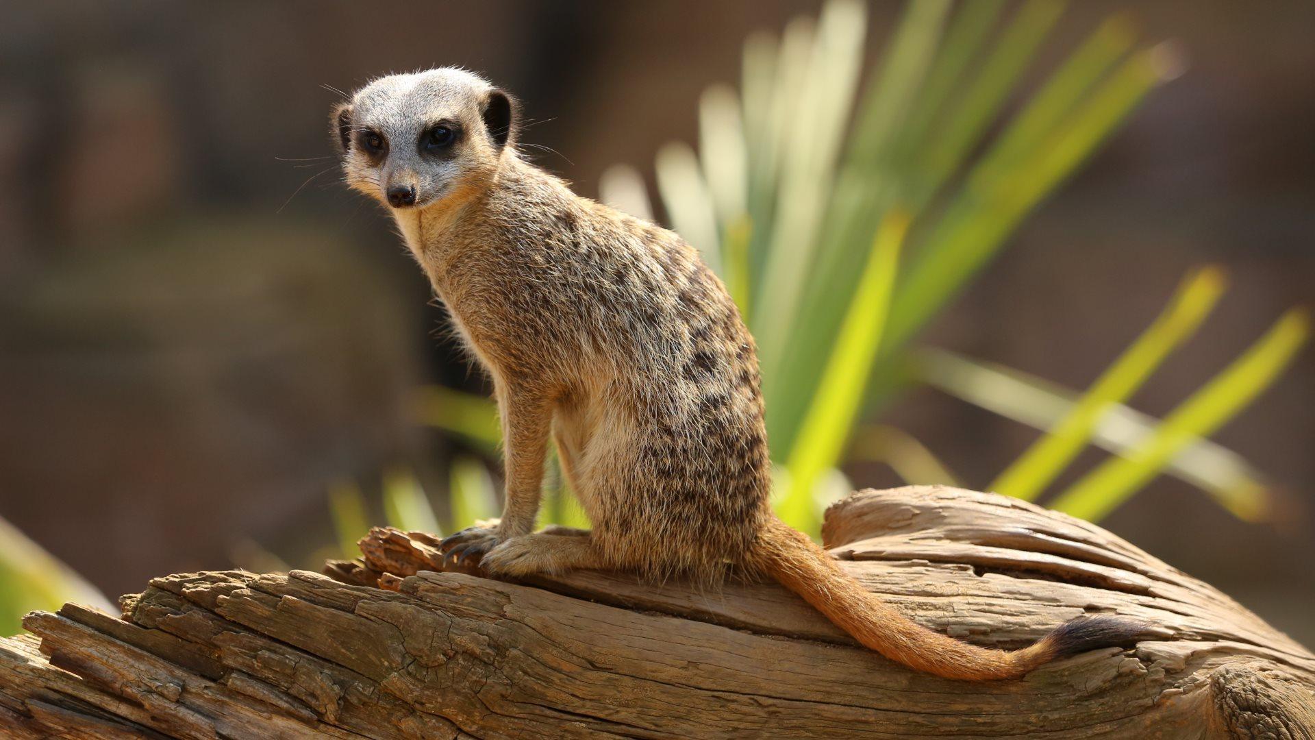 Meerkat Free