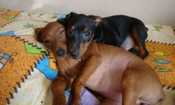 Miniature Pinscher Free