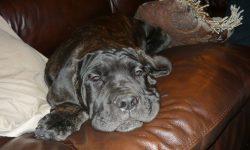 Neapolitan Mastiff Free