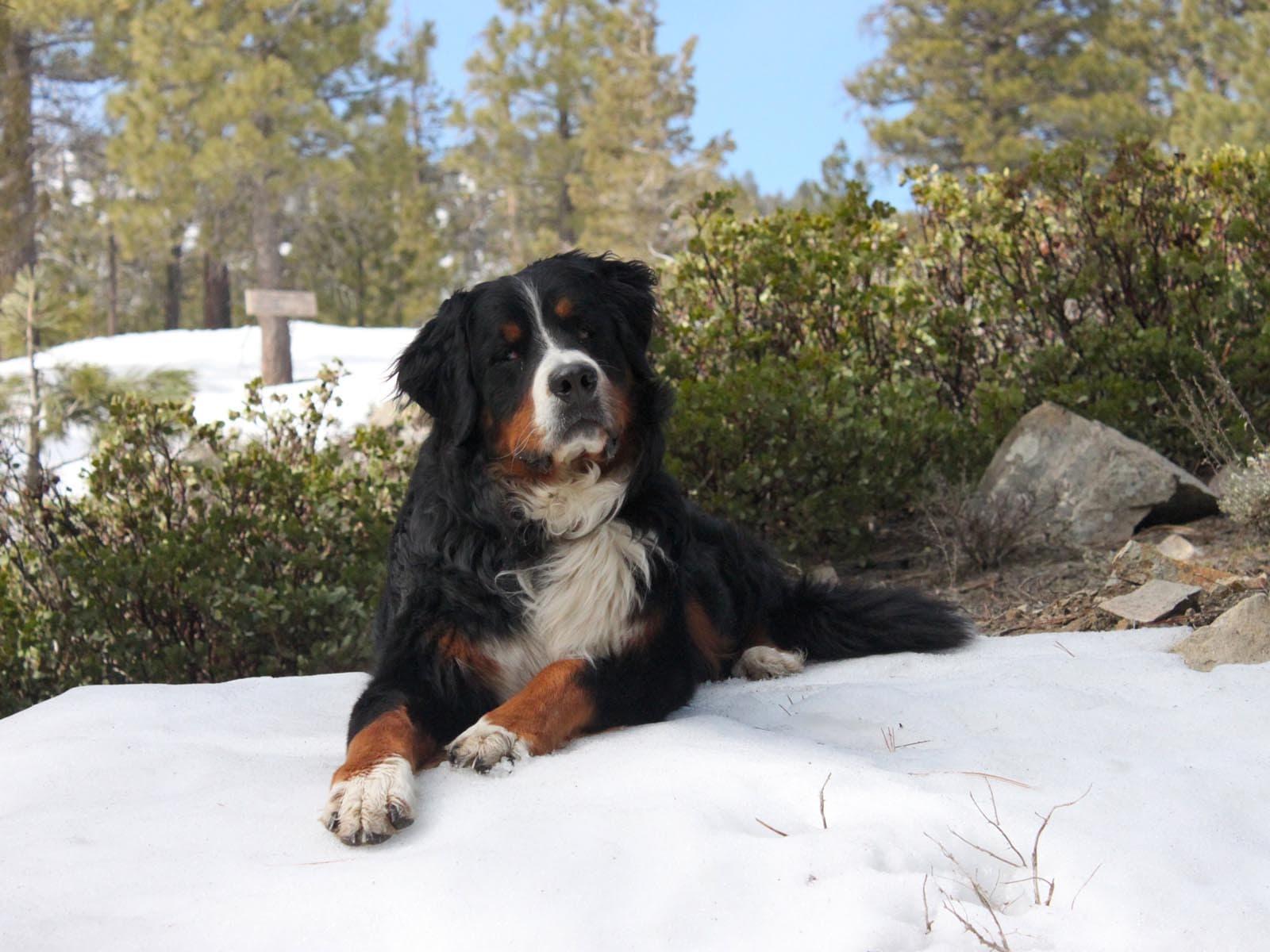 Newfoundland Dog Free