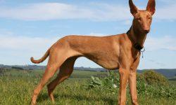 Pharaoh hound Free