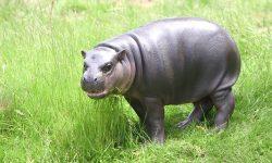 Pygmy hippopotamus Free