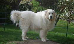 Pyrenean Mountain Dog Widescreen