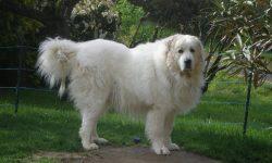 Pyrenean Mountain Dog Widescreen