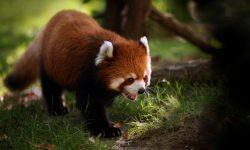 Red panda Free
