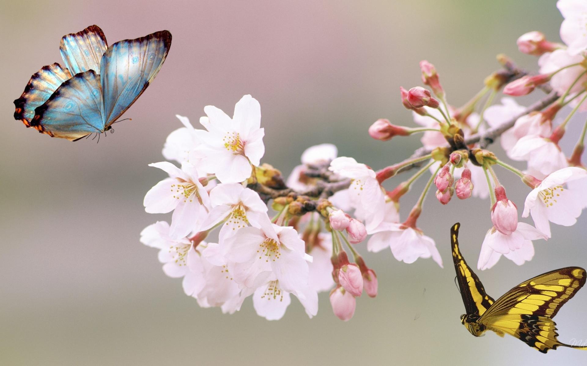 Sakura flower Free